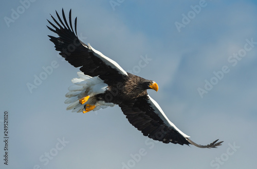 Photo sur Aluminium Aigle Adult Steller's sea eagle in flight. Scientific name: Haliaeetus pelagicus. Sky background.