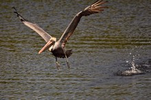 Brown Pelican Bird Lifting Off...