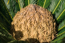 Cycas Tree Or Japanese Sago Pa...