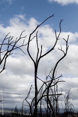 Fotografía  Burned trees corpses