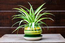Chlorophytum Comosum (also Known Spider Plant) In A Pot On The Wooden Fence Background