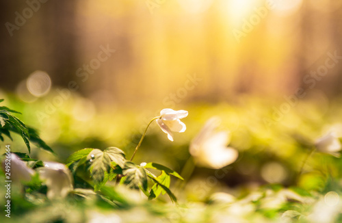 Fotobehang Meloen Anemone nemorosa, buttercup flower in a forest an early morning sunrise with dew and water on the flowers.