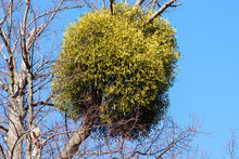 A Large Bunch Of Mistletoe Growing On The Branch Of A Tree.