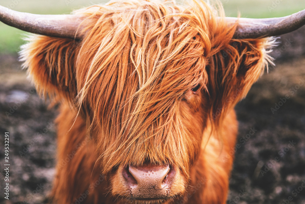 Fototapeta Highland cow cattle head face hair horns in Scotland