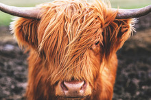 Highland Cow Cattle Head Face ...