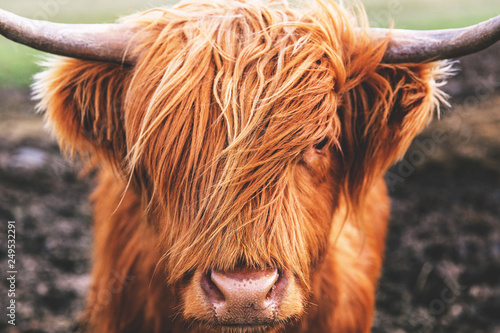Highland cow cattle head face hair horns in Scotland