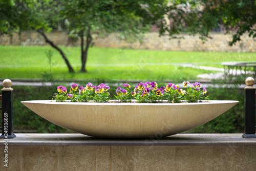 Garden pansies in flower pot
