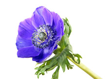 Blue Flower Of Anemone Coronaria Or Grecian Windflower Isolated On White Background