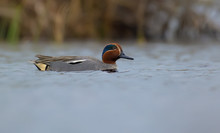 Male Eurasian Teal Swims Alone...