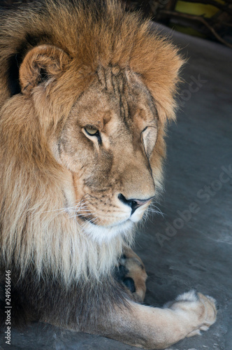 Fototapety, obrazy: close-up of an African lion