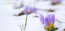 Crocus In The Snow-covered Gar...