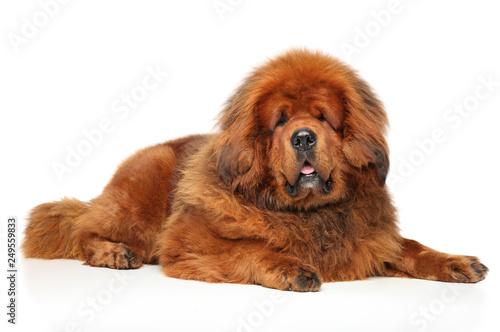 Tibetan Mastiff lying on white floor Wallpaper Mural