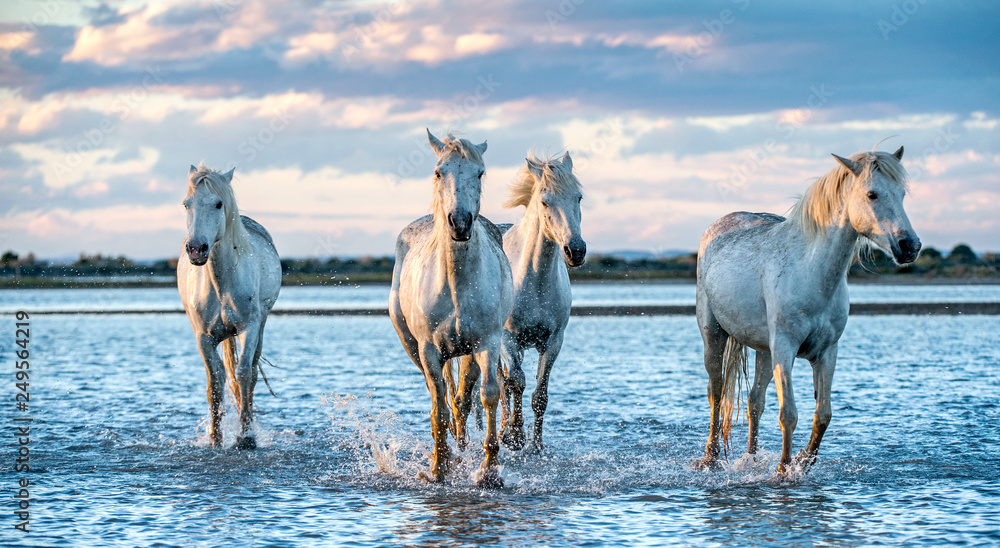 Fototapety, obrazy: White Camargue Horses galloping on the water.