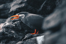Inca Tern - Larosterna Inca Sitting On A Rocky Coast Cliff