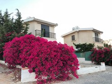 Pink Bougainvillea On A White ...