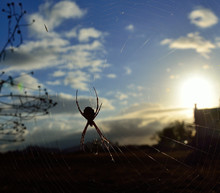 Backlit Spider On The Cobweb, ...
