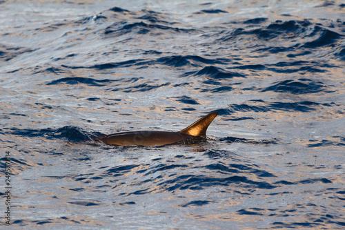 Plakat Walenie lub ssaki morskie pływające w spokojnym regionie Azorów i Madery na środku Oceanu Atlantyckiego