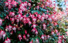 Blooming Fuchsia In The Garden