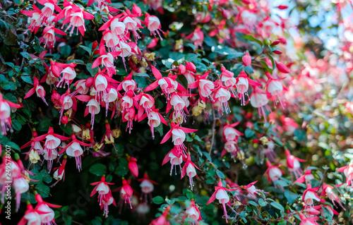 Valokuvatapetti Blooming fuchsia in the garden