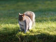Cute Gray Squirrel In Springtime