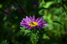 Bee On A Beautiful Aster Flower
