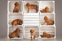 Cute, Funny Puppies Dog Vizslas Vintage Composition In Studio