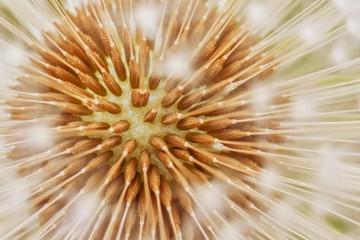 Fototapeta Współczesny Organic texture of dandelion flower