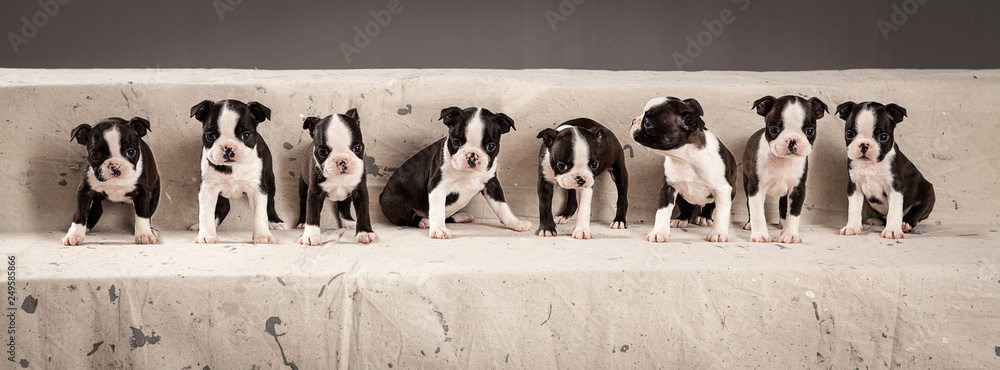 Fototapety, obrazy: Litter of cute boston terriers puppies in composition