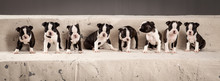 Litter Of Cute Boston Terriers Puppies In Composition