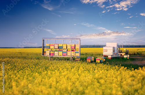 Foto op Aluminium Bee Apiary in rape field. Rapeseed season. Nomadic Beekeepers. Colorful bee hives