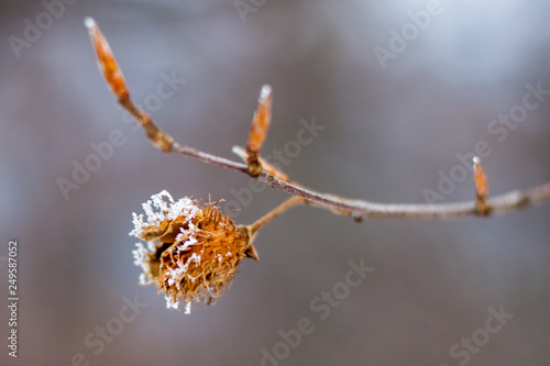 Snow covered beechnut spiky shell on a branch, zoomed in macro view, on a blurre Canvas Print