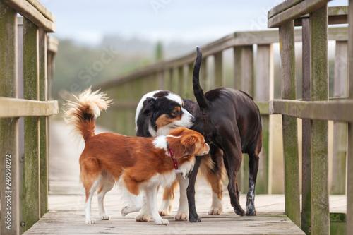 Fotografie, Tablou Tres perros oliéndose el trasero el uno al otro