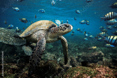 Poster Tortue Green sea turtle and sergeant major fish, Galapagos Islands