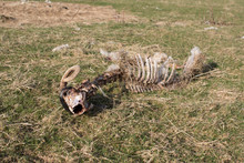 Remains Of A Sheep Carcass In A Field