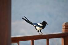 EURASIAN COMMON MAGPIE PICA PICA BIRD WITH MOUNTAIN BACKDROP