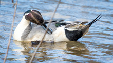 Pintail Duck In Huntley Meadow...