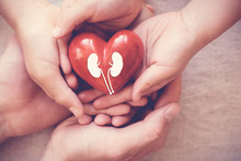 Hands Holiding Red Heart With Kidney, World Kidney Day, Organ Donor Day