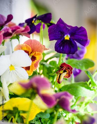 Fotografie, Obraz  Multiple Viola plant on balcony genus of flowering plants in the violet family V