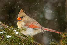 Female Northern Cardinal Bird In Snow