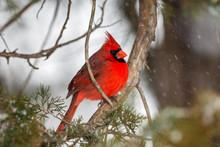 Male Northern Cardinal Bird In...