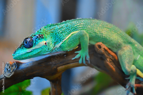 Poster Chamaleon Knight Anole In the terrarium