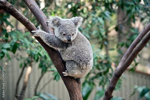 Garden Poster Koala a joey koala climbing a tree