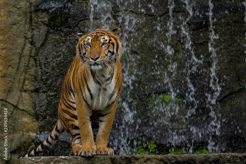 Spoed Foto op Canvas Tijger tiger