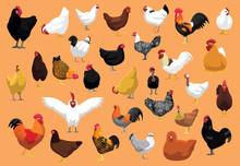 Various Chicken Breeds Poultry Cartoon Vector Illustration