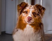 Berger Australien Chien - Australien Shepherd Dog Aussie