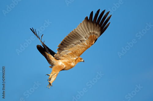 Photo  Tawny eagle (Aquila rapax) in flight with open wings against a blue sky, South Africa