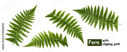 Obraz na plátně Fern leaves isolated on white with clipping path