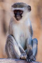 Vervet Monkey (Chlorocebus Pyg...