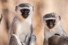 Vervet Monkey (Chlorocebus Pygerythrus) In Kruger National Park, South Africa