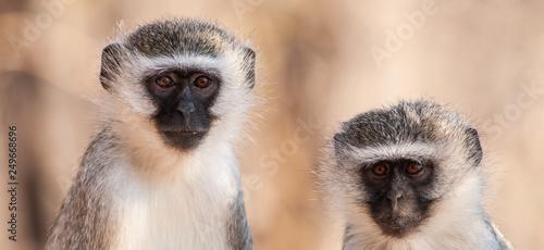 Fotografie, Obraz  Vervet monkey (Chlorocebus pygerythrus) in Kruger National Park, South Africa